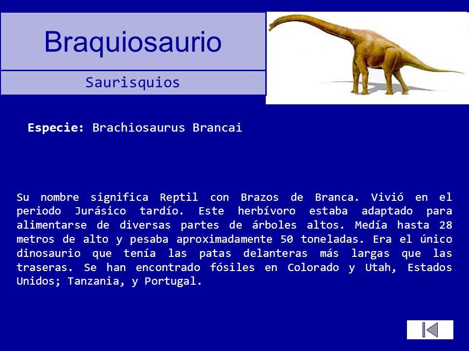 Braquiosaurio Su nombre significa Reptil con Brazos de Branca. Vivió en el periodo Jurásico tardío. Este herbívoro estaba adaptado para alimentarse de