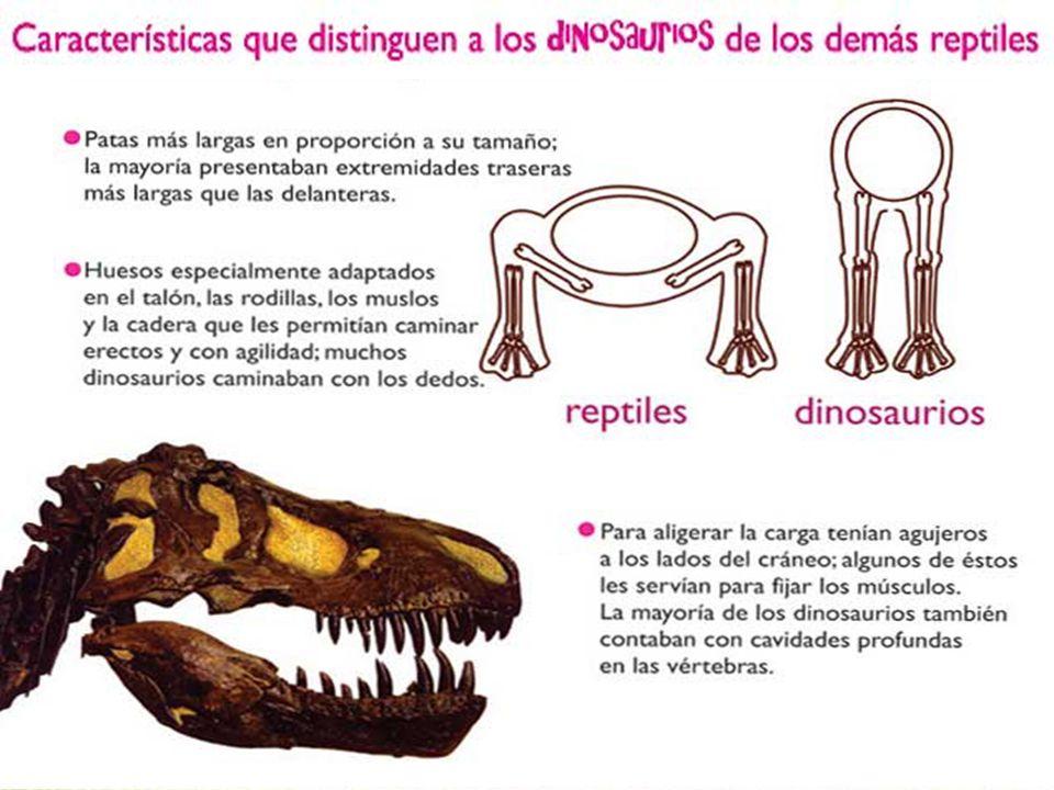 Los dinosaurios se clasifican de acuerdo a la estructura de su cadera: Tipos de dinosaurios Cadera de lagartoCadera de ave A este grupo pertenecen los Saurisquios A este grupo pertenecen los Ornitrisquios