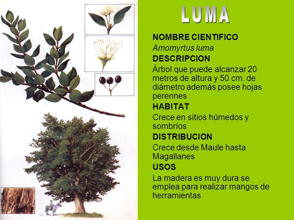 NOMBRE CIENTIFICO Amomyrtus luma DESCRIPCION Árbol que puede alcanzar 20 metros de altura y 50 cm.