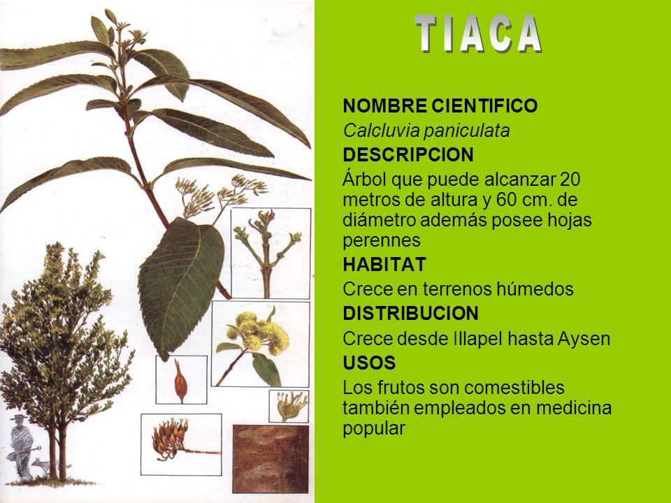 NOMBRE CIENTIFICO Calcluvia paniculata DESCRIPCION Árbol que puede alcanzar 20 metros de altura y 60 cm. de diámetro además posee hojas perennes HABIT