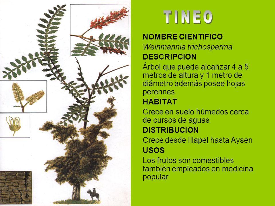 NOMBRE CIENTIFICO Weinmannia trichosperma DESCRIPCION Árbol que puede alcanzar 4 a 5 metros de altura y 1 metro de diámetro además posee hojas perenne