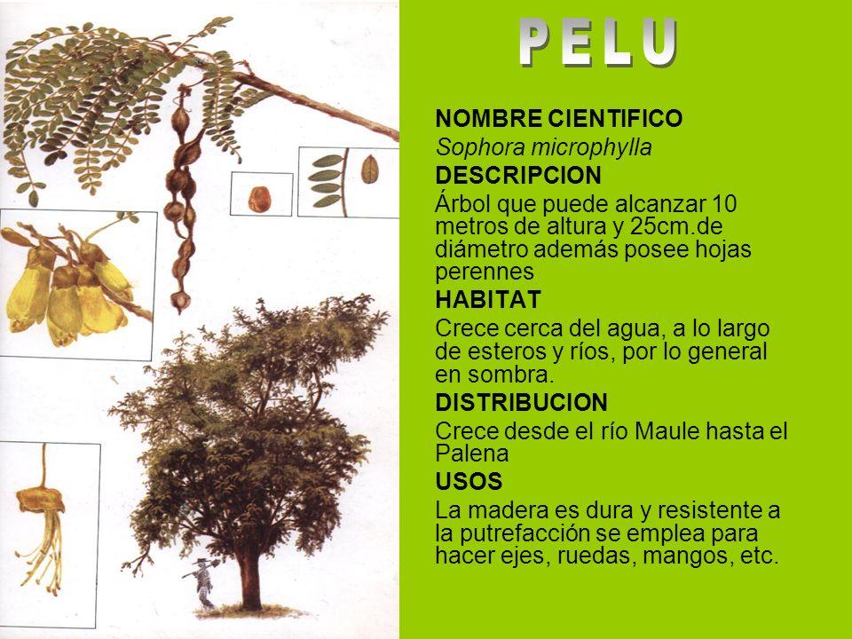 NOMBRE CIENTIFICO Sophora microphylla DESCRIPCION Árbol que puede alcanzar 10 metros de altura y 25cm.de diámetro además posee hojas perennes HABITAT