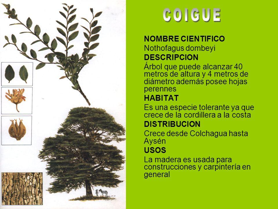 NOMBRE CIENTIFICO Nothofagus dombeyi DESCRIPCION Árbol que puede alcanzar 40 metros de altura y 4 metros de diámetro además posee hojas perennes HABIT