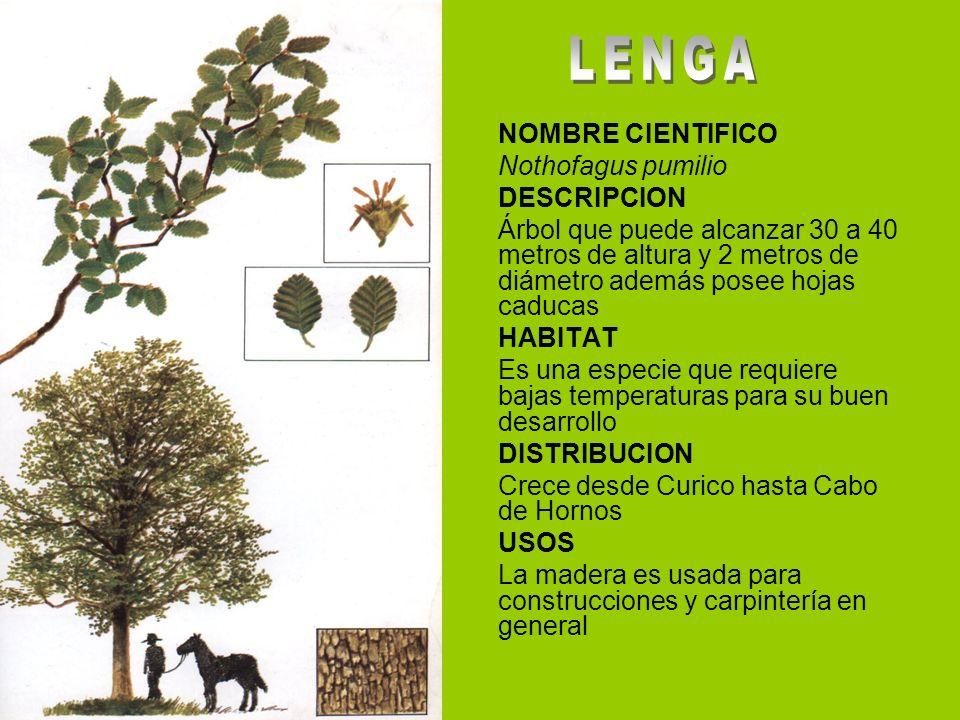 NOMBRE CIENTIFICO Nothofagus pumilio DESCRIPCION Árbol que puede alcanzar 30 a 40 metros de altura y 2 metros de diámetro además posee hojas caducas H