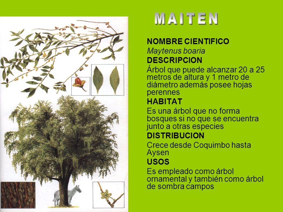 NOMBRE CIENTIFICO Maytenus boaria DESCRIPCION Árbol que puede alcanzar 20 a 25 metros de altura y 1 metro de diámetro además posee hojas perennes HABI