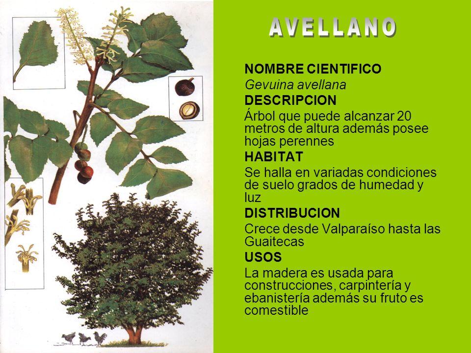 NOMBRE CIENTIFICO Gevuina avellana DESCRIPCION Árbol que puede alcanzar 20 metros de altura además posee hojas perennes HABITAT Se halla en variadas c