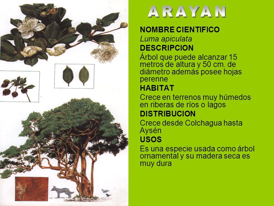 NOMBRE CIENTIFICO Luma apiculata DESCRIPCION Árbol que puede alcanzar 15 metros de altura y 50 cm. de diámetro además posee hojas perenne HABITAT Crec