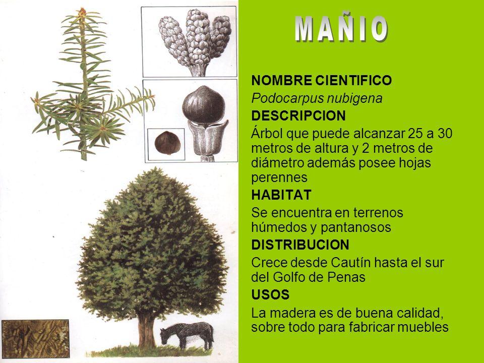 NOMBRE CIENTIFICO Podocarpus nubigena DESCRIPCION Árbol que puede alcanzar 25 a 30 metros de altura y 2 metros de diámetro además posee hojas perennes HABITAT Se encuentra en terrenos húmedos y pantanosos DISTRIBUCION Crece desde Cautín hasta el sur del Golfo de Penas USOS La madera es de buena calidad, sobre todo para fabricar muebles