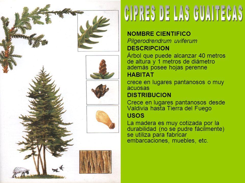 NOMBRE CIENTIFICO Pilgerodrendrum uviferum DESCRIPCION Árbol que puede alcanzar 40 metros de altura y 1 metros de diámetro además posee hojas perenne