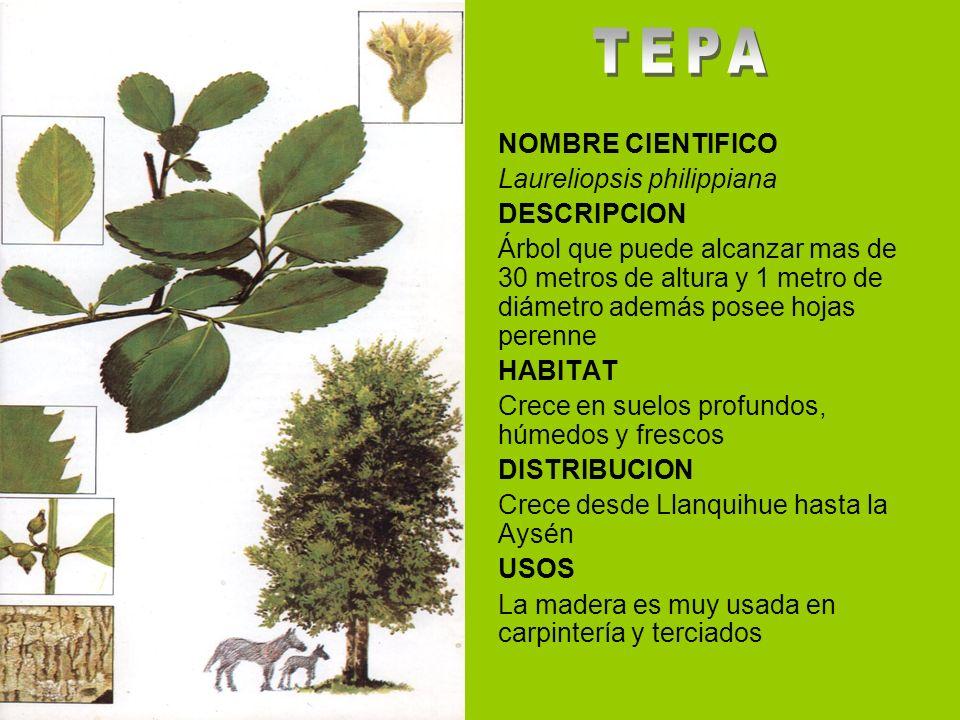 NOMBRE CIENTIFICO Laureliopsis philippiana DESCRIPCION Árbol que puede alcanzar mas de 30 metros de altura y 1 metro de diámetro además posee hojas perenne HABITAT Crece en suelos profundos, húmedos y frescos DISTRIBUCION Crece desde Llanquihue hasta la Aysén USOS La madera es muy usada en carpintería y terciados