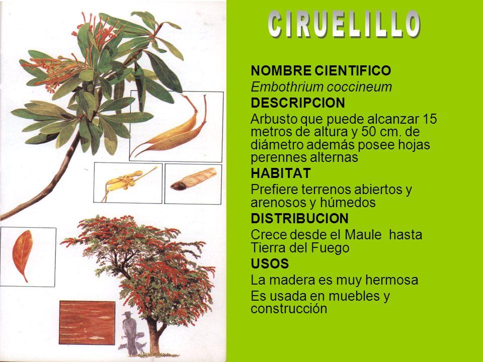 NOMBRE CIENTIFICO Embothrium coccineum DESCRIPCION Arbusto que puede alcanzar 15 metros de altura y 50 cm. de diámetro además posee hojas perennes alt