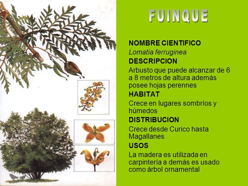 NOMBRE CIENTIFICO Lomatia ferruginea DESCRIPCION Arbusto que puede alcanzar de 6 a 8 metros de altura además posee hojas perennes HABITAT Crece en lug