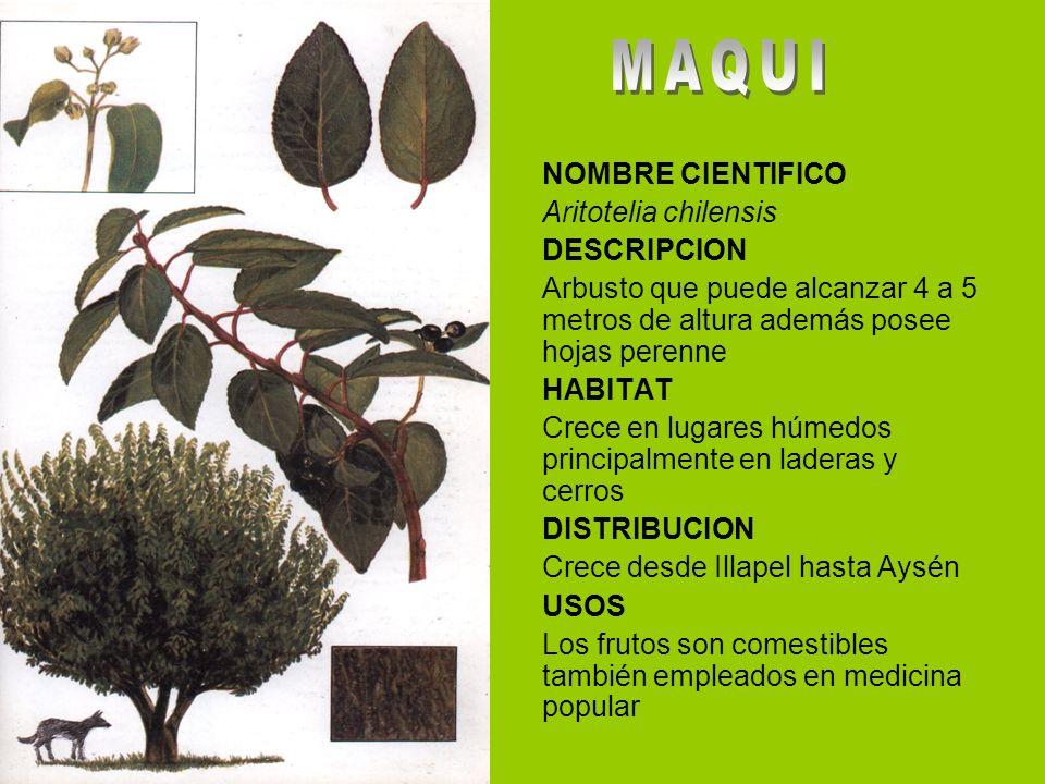 NOMBRE CIENTIFICO Aritotelia chilensis DESCRIPCION Arbusto que puede alcanzar 4 a 5 metros de altura además posee hojas perenne HABITAT Crece en lugar