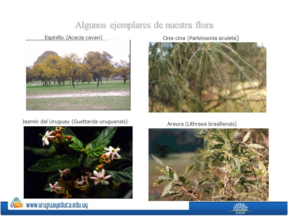Algunos ejemplares de nuestra flora Espinillo (Acacia caven) Cina-cina (Parkinsonia aculeta ) Jazmín del Uruguay (Guettarda uruguensis) Areura (Lithra