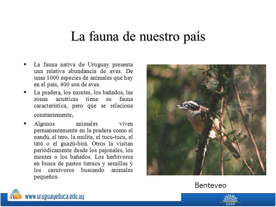 La fauna de nuestro país La fauna nativa de Uruguay presenta una relativa abundancia de aves. De unas 1000 especies de animales que hay en el país, 40