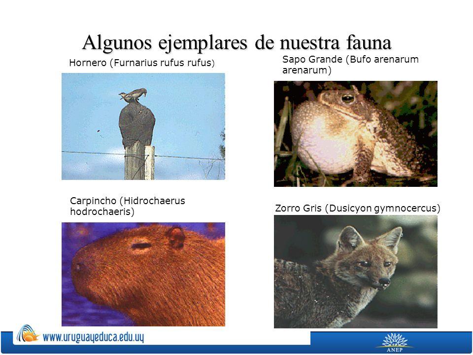 Algunos ejemplares de nuestra fauna Hornero (Furnarius rufus rufus ) Sapo Grande (Bufo arenarum arenarum) Carpincho (Hidrochaerus hodrochaeris) Zorro