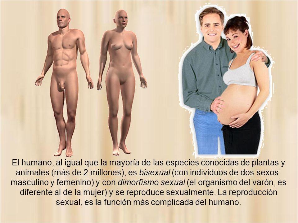 El humano, al igual que la mayoría de las especies conocidas de plantas y animales (más de 2 millones), es bisexual (con individuos de dos sexos: masculino y femenino) y con dimorfismo sexual (el organismo del varón, es diferente al de la mujer) y se reproduce sexualmente.