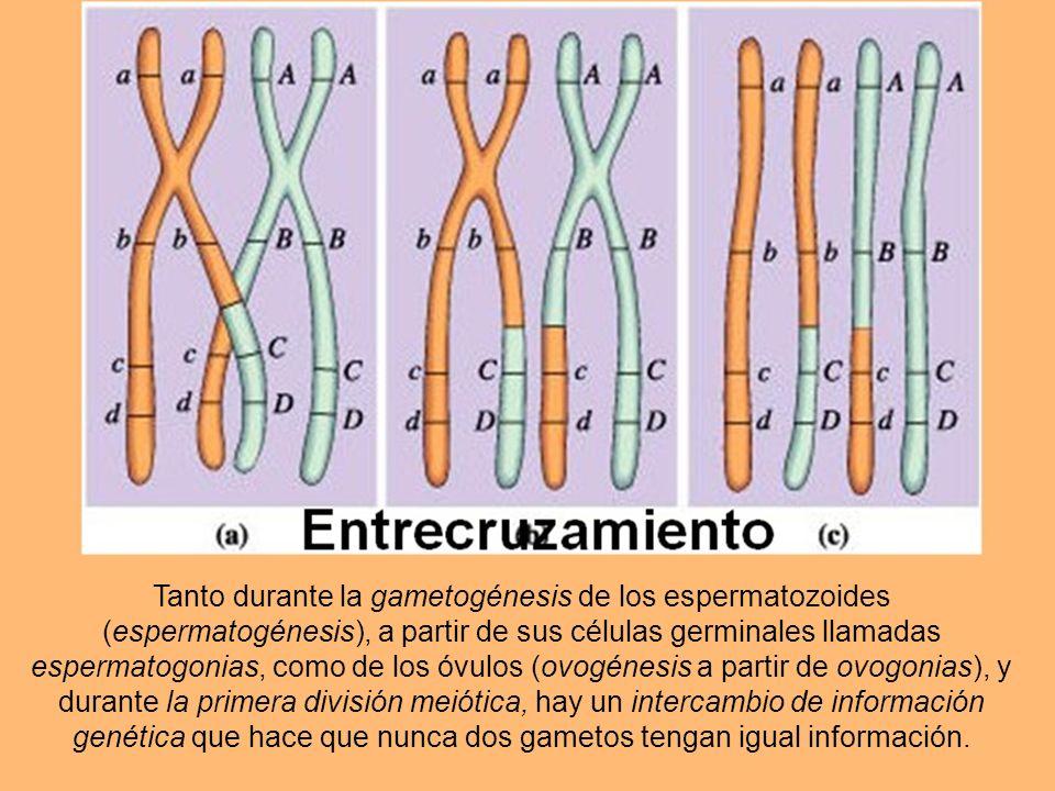 La gametogénesis, o formación de los gametos por Meiosis, que en dos divisiones subsecuentes de las células germinales, reduce en las gónadas (testícu