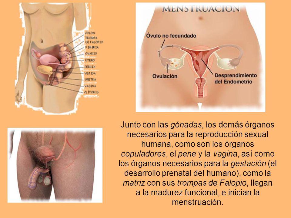 Junto con las gónadas, los demás órganos necesarios para la reproducción sexual humana, como son los órganos copuladores, el pene y la vagina, así como los órganos necesarios para la gestación (el desarrollo prenatal del humano), como la matriz con sus trompas de Falopio, llegan a la madurez funcional, e inician la menstruación.