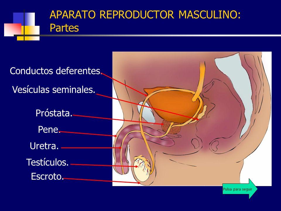 APARATO REPRODUCTOR MASCULINO: Partes Uretra. Pene. Testículos. Escroto. Conductos deferentes. Próstata. Vesículas seminales. Pulsa para seguir