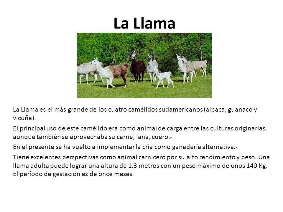 La Llama es el más grande de los cuatro camélidos sudamericanos (alpaca, guanaco y vicuña). El principal uso de este camélido era como animal de carga