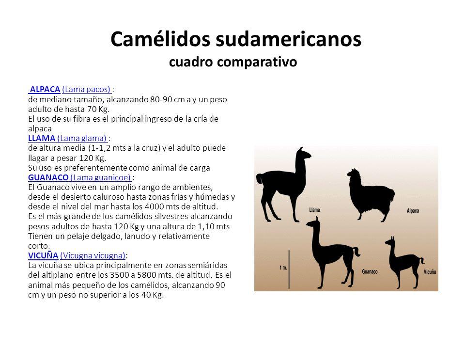 Camélidos sudamericanos cuadro comparativo ALPACA (Lama pacos) : de mediano tamaño, alcanzando 80-90 cm a y un peso adulto de hasta 70 Kg. El uso de s