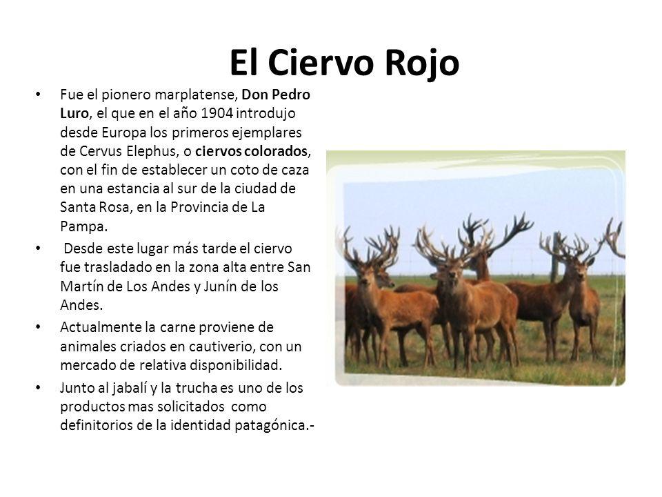 El Ciervo Rojo Fue el pionero marplatense, Don Pedro Luro, el que en el año 1904 introdujo desde Europa los primeros ejemplares de Cervus Elephus, o c