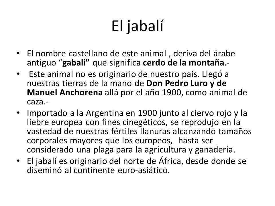 El jabalí El nombre castellano de este animal, deriva del árabe antiguo gabali que significa cerdo de la montaña.- Este animal no es originario de nue