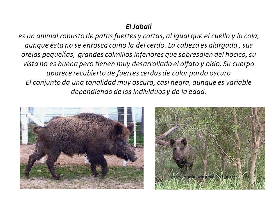 El Jabalí es un animal robusto de patas fuertes y cortas, al igual que el cuello y la cola, aunque ésta no se enrosca como la del cerdo. La cabeza es