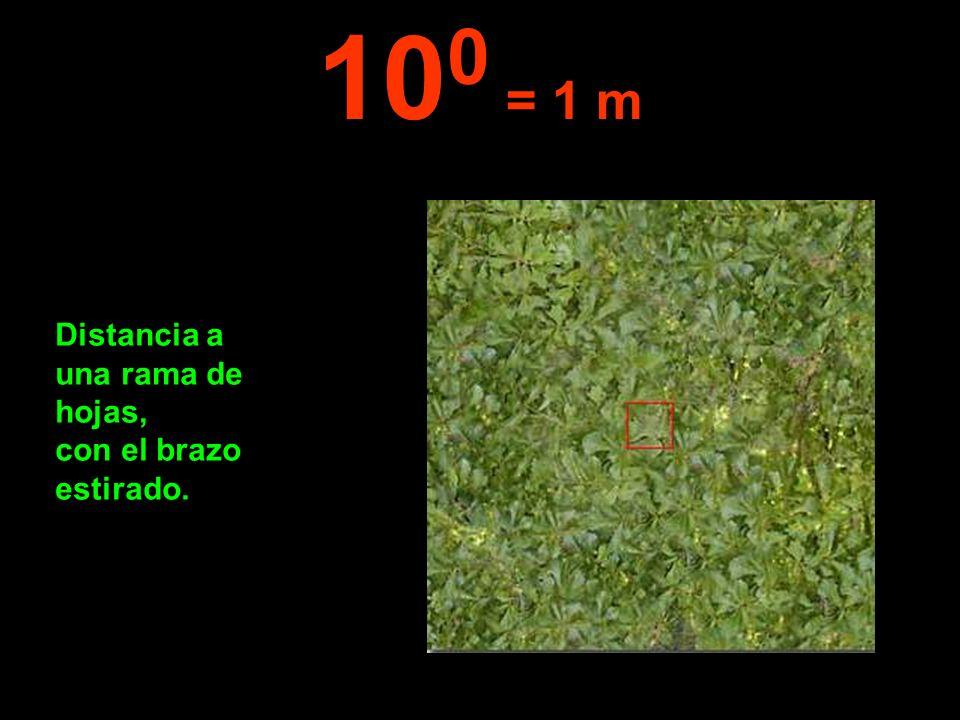 Distancia a una rama de hojas, con el brazo estirado. 10 0 = 1 m