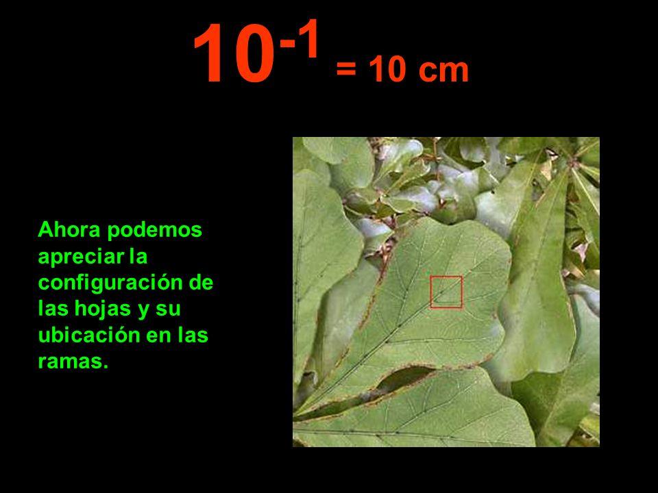 Ahora podemos apreciar la configuración de las hojas y su ubicación en las ramas. 10 -1 = 10 cm