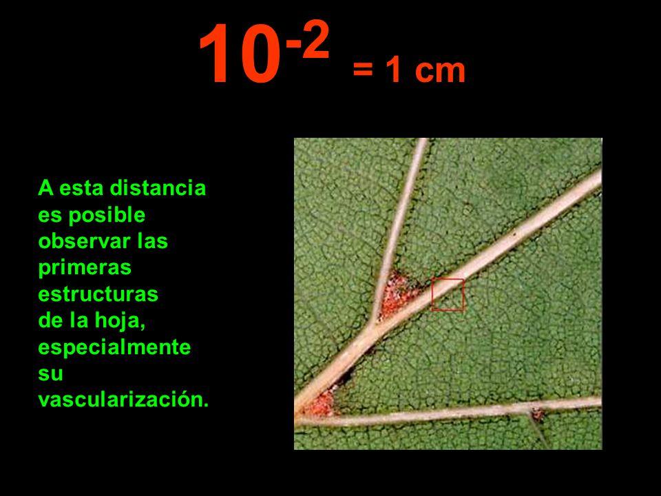 A esta distancia es posible observar las primeras estructuras de la hoja, especialmente su vascularización. 10 -2 = 1 cm