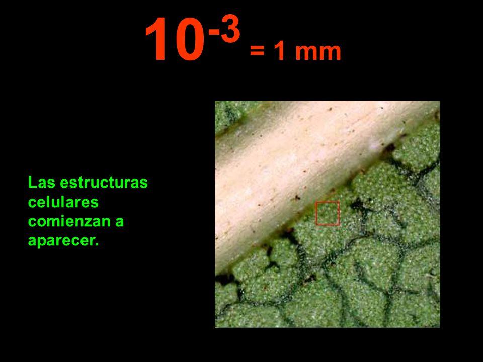 Las estructuras celulares comienzan a aparecer. 10 -3 = 1 mm