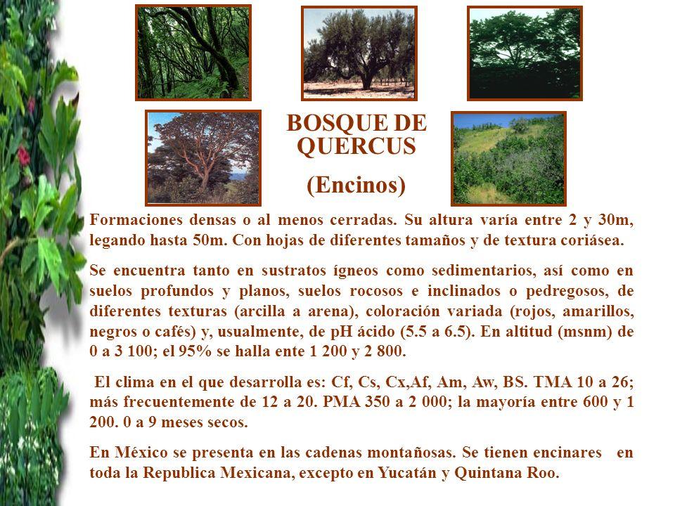 BOSQUE DE QUERCUS (Encinos) Formaciones densas o al menos cerradas. Su altura varía entre 2 y 30m, legando hasta 50m. Con hojas de diferentes tamaños
