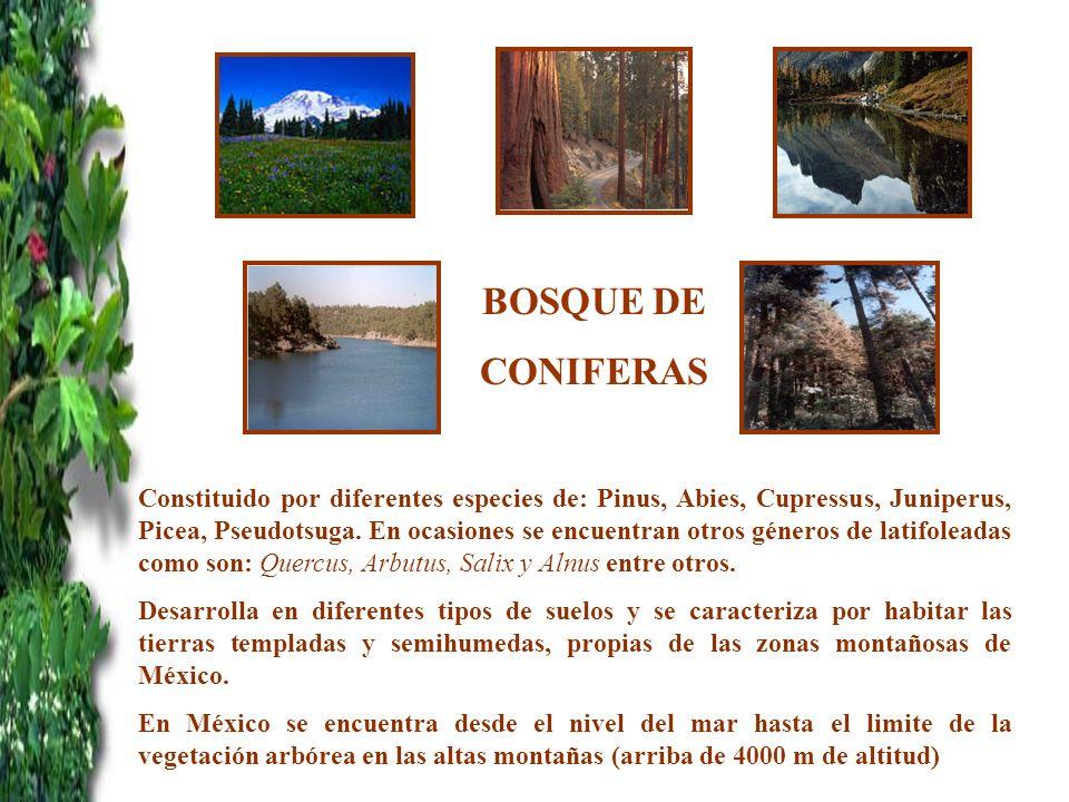 BOSQUE DE CONIFERAS Constituido por diferentes especies de: Pinus, Abies, Cupressus, Juniperus, Picea, Pseudotsuga. En ocasiones se encuentran otros g