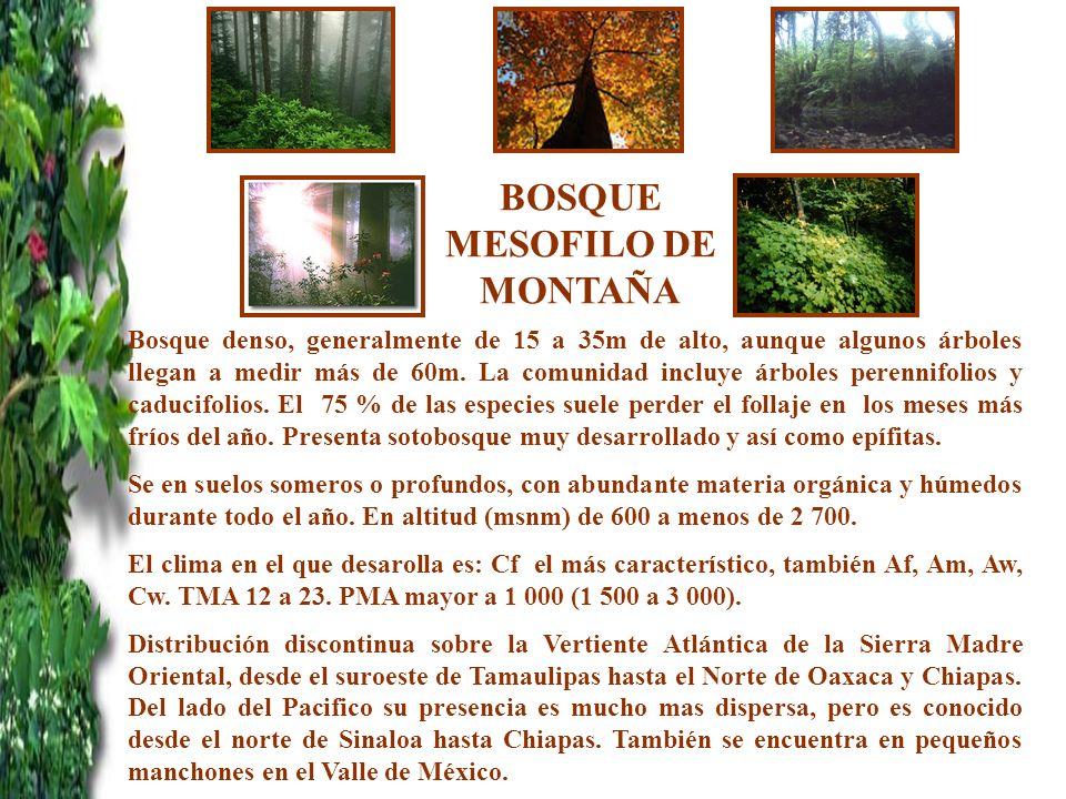 BOSQUE MESOFILO DE MONTAÑA Bosque denso, generalmente de 15 a 35m de alto, aunque algunos árboles llegan a medir más de 60m. La comunidad incluye árbo
