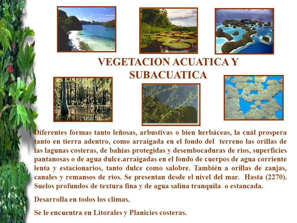 VEGETACION ACUATICA Y SUBACUATICA r Diferentes formas tanto leñosas, arbustivas o bien herbáceas, la cuál prospera tanto en tierra adentro, como arrai