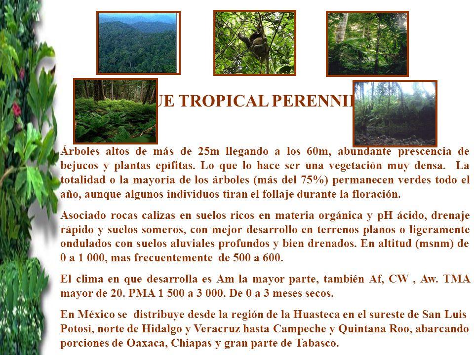 BOSQUE TROPICAL PERENNIFOLIO Árboles altos de más de 25m llegando a los 60m, abundante prescencia de bejucos y plantas epífitas. Lo que lo hace ser un
