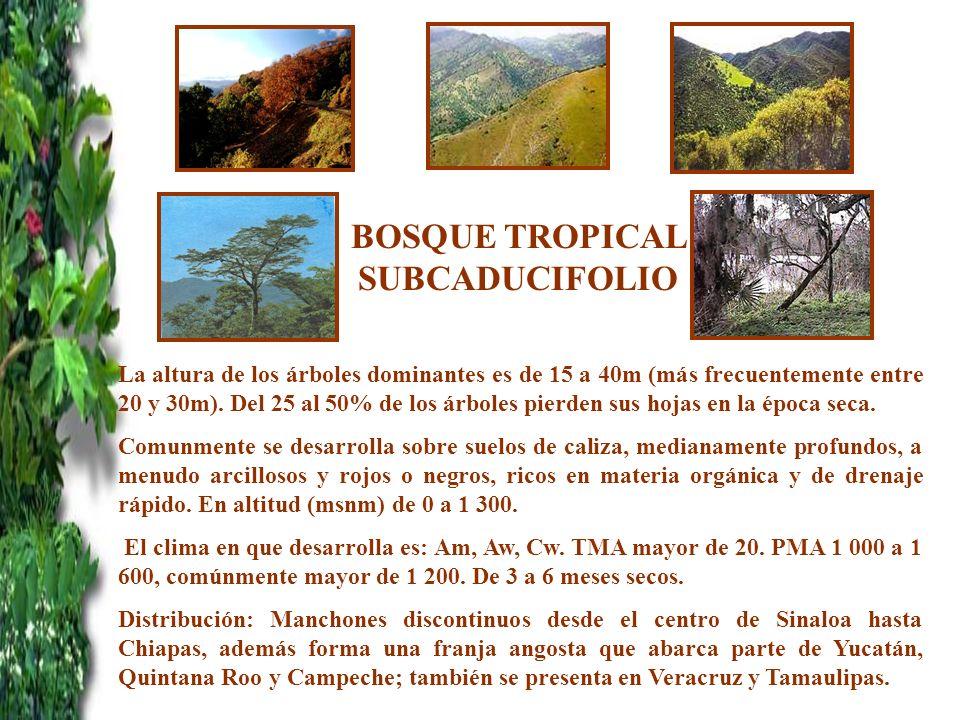 BOSQUE TROPICAL SUBCADUCIFOLIO La altura de los árboles dominantes es de 15 a 40m (más frecuentemente entre 20 y 30m). Del 25 al 50% de los árboles pi