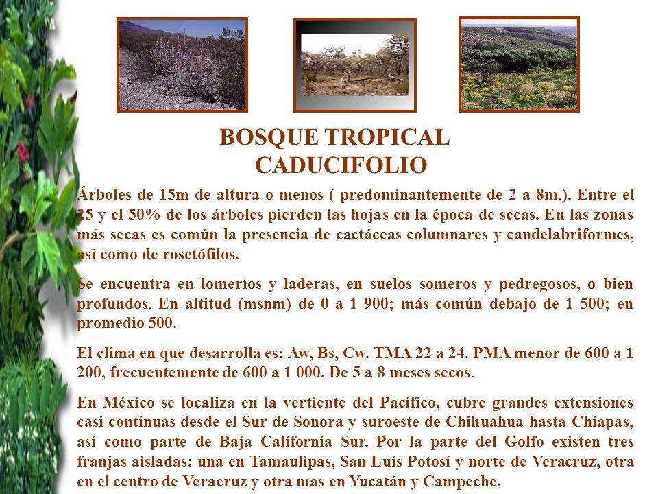 BOSQUE TROPICAL CADUCIFOLIO Árboles de 15m de altura o menos ( predominantemente de 2 a 8m.). Entre el 25 y el 50% de los árboles pierden las hojas en