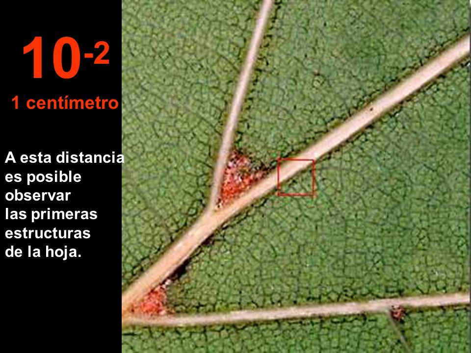 Acercándonos a 10 cm podemos delinear una hoja de la rama. 10 -1 10 centímetros