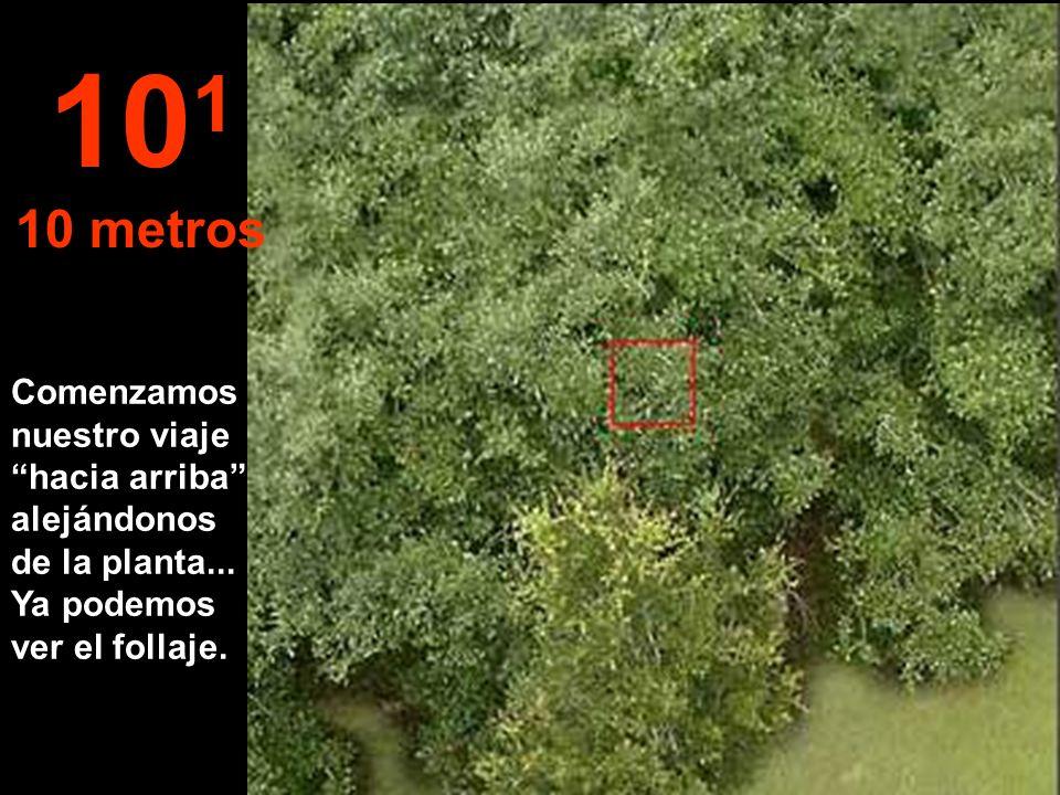 Así aparecen las hojas de una planta, a la distancia del brazo estirado... 10 0 1 metro