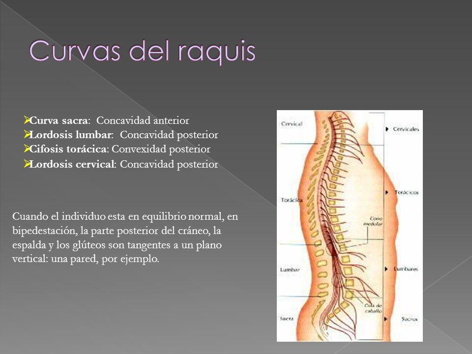 Curva sacra: Concavidad anterior Lordosis lumbar: Concavidad posterior Cifosis torácica: Convexidad posterior Lordosis cervical: Concavidad posterior