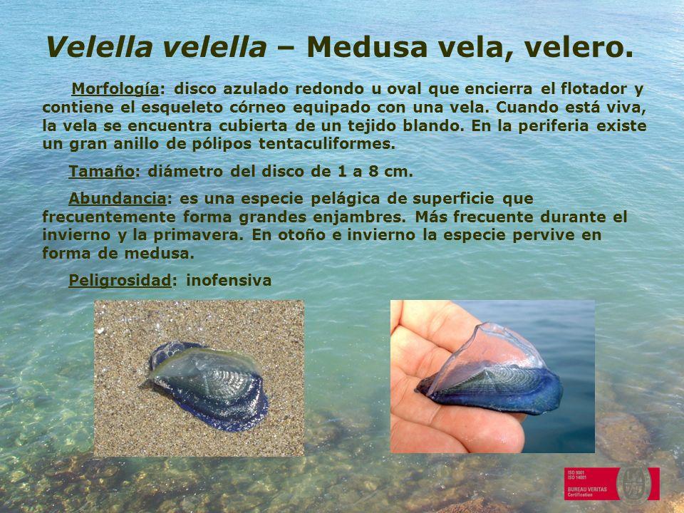 Velella velella – Medusa vela, velero. Morfología: disco azulado redondo u oval que encierra el flotador y contiene el esqueleto córneo equipado con u