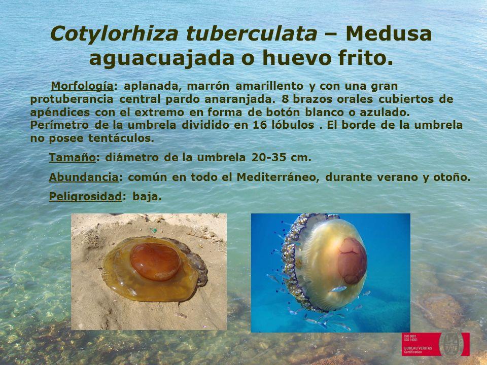 Cotylorhiza tuberculata – Medusa aguacuajada o huevo frito. Morfología: aplanada, marrón amarillento y con una gran protuberancia central pardo anaran