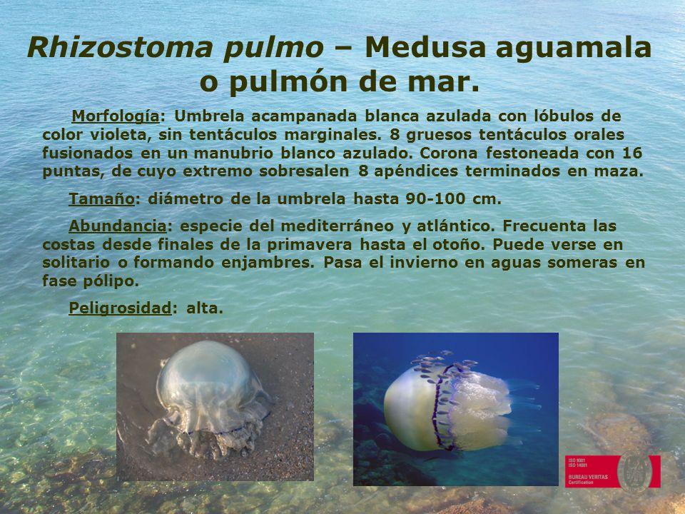 Rhizostoma pulmo – Medusa aguamala o pulmón de mar. Morfología: Umbrela acampanada blanca azulada con lóbulos de color violeta, sin tentáculos margina