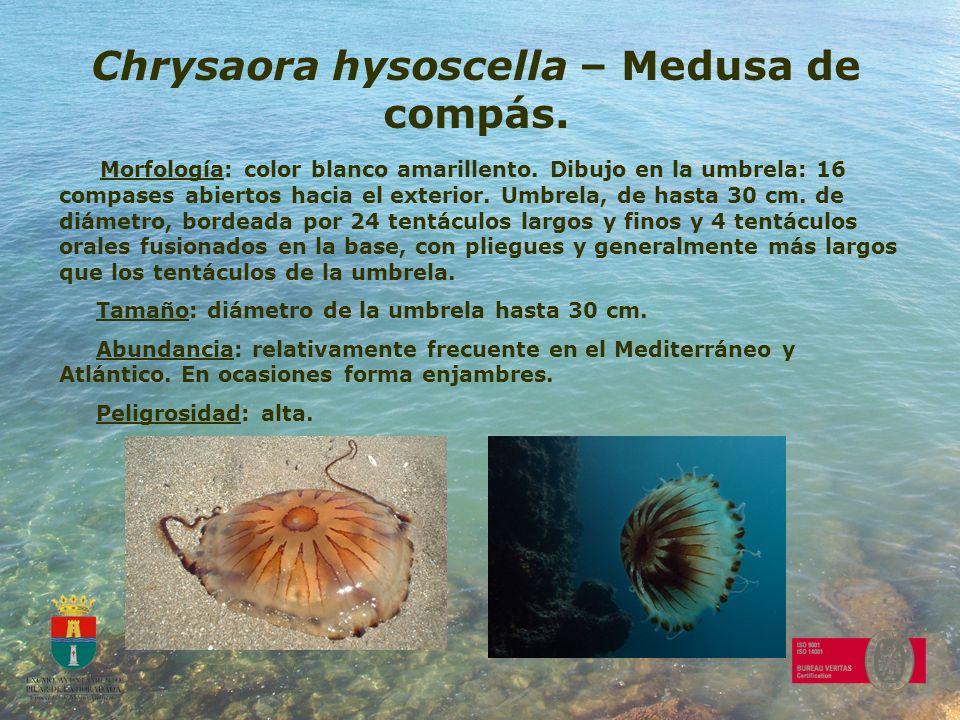 Chrysaora hysoscella – Medusa de compás. Morfología: color blanco amarillento. Dibujo en la umbrela: 16 compases abiertos hacia el exterior. Umbrela,