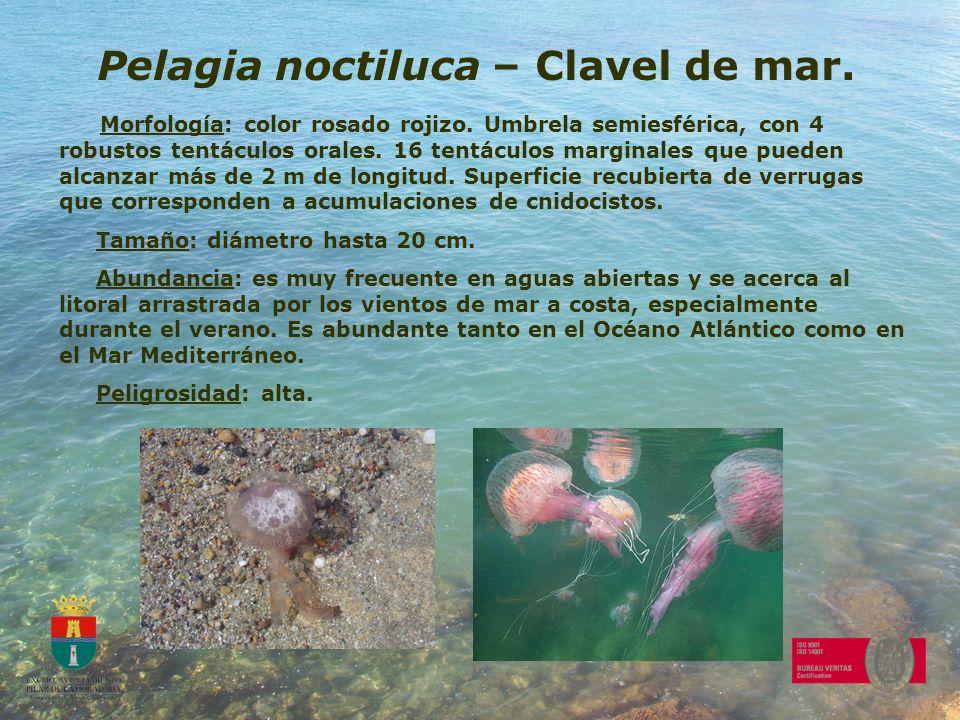 Pelagia noctiluca – Clavel de mar. Morfología: color rosado rojizo. Umbrela semiesférica, con 4 robustos tentáculos orales. 16 tentáculos marginales q