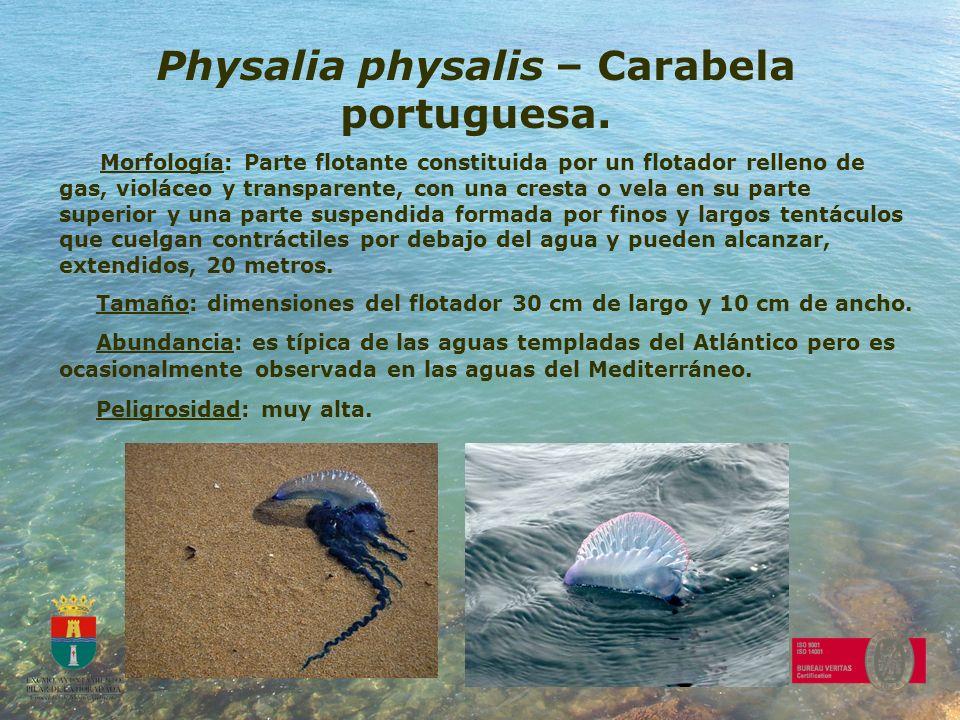 Physalia physalis – Carabela portuguesa. Morfología: Parte flotante constituida por un flotador relleno de gas, violáceo y transparente, con una crest