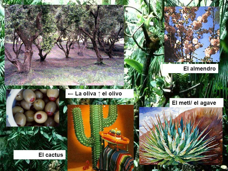 La oliva el olivo El cactus El metl/ el agave El almendro